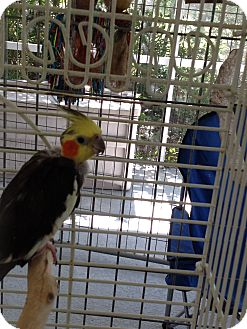 Cockatiel for adoption in Punta Gorda, Florida - Toto