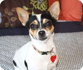 Rat Terrier/Chihuahua Mix Dog for adoption in Bellflower, California - Harriet-8 lbs