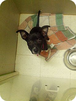 Pit Bull Terrier Mix Puppy for adoption in Philadelphia, Pennsylvania - Corrine