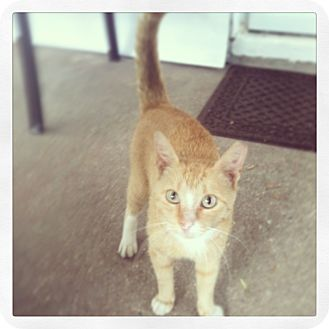 Domestic Shorthair Cat for adoption in Columbia, Maryland - Jack