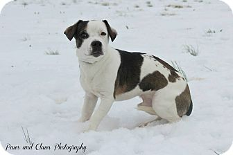 Basset Hound/Terrier (Unknown Type, Medium) Mix Dog for adoption in Blue Bell, Pennsylvania - Scooby