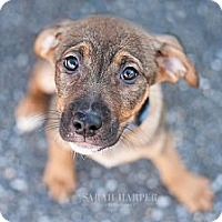 Adopt A Pet :: Diamond - Reisterstown, MD