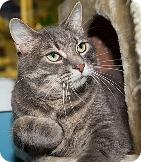 Domestic Shorthair Cat for adoption in Seville, Ohio - Phin