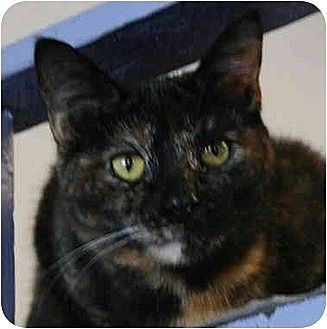 Domestic Shorthair Cat for adoption in Huntley, Illinois - Melina