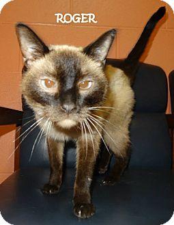 Siamese Cat for adoption in Lapeer, Michigan - ROGER--URGENT!!! SIAMESE! $20