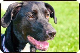 Labrador Retriever Mix Dog for adoption in Elyria, Ohio - Lilly