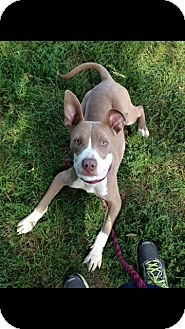 Pit Bull Terrier Mix Puppy for adoption in Chicago, Illinois - Butters