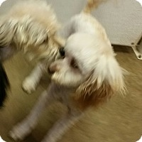 Adopt A Pet :: Brophy - maltipoo! - Phoenix, AZ