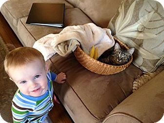 Domestic Shorthair Cat for adoption in Powell, Ohio - Inez