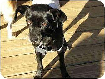 Chihuahua/Feist Mix Dog for adoption in Williston Park, New York - Erte