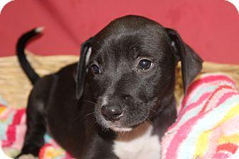 Labrador Retriever Mix Puppy for adoption in Waldorf, Maryland - Kirk