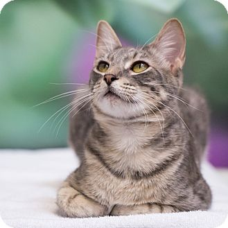 Domestic Shorthair Cat for adoption in Houston, Texas - Gibson