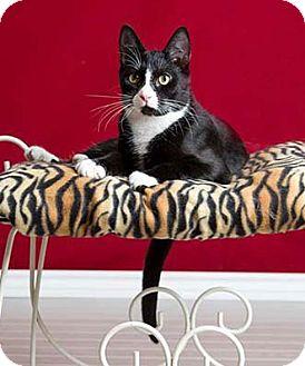 Domestic Shorthair Cat for adoption in Merrifield, Virginia - Pinto