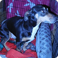 Adopt A Pet :: Zing - Whiting, IN