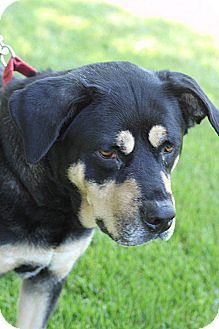 Rottweiler/Shepherd (Unknown Type) Mix Dog for adoption in South Haven, Michigan - Dutchess