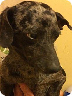 Dachshund/Australian Terrier Mix Dog for adoption in West Warwick, Rhode Island - EMMET in Rhode Island