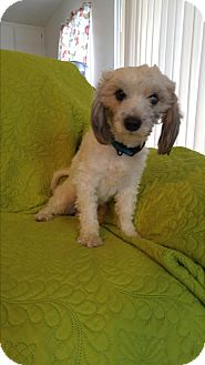 Poodle (Miniature)/Maltese Mix Dog for adoption in LAKEWOOD, California - Rudy