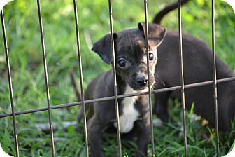 Chihuahua Mix Puppy for adoption in Springfield, Virginia - Black Eyed Susan