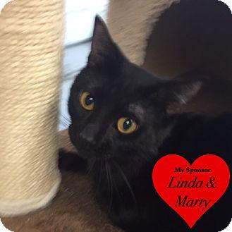 Domestic Shorthair Cat for adoption in San Leon, Texas - Apollo