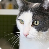 Domestic Shorthair Cat for adoption in Los Angeles, California - Don Juan