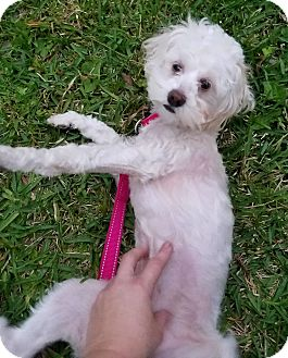 Poodle (Miniature)/Maltese Mix Dog for adoption in Houston, Texas - Tempie