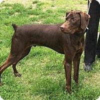 Adopt A Pet :: Cooper - Marlton, NJ