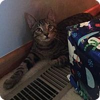Domestic Shorthair Cat for adoption in Topeka, Kansas - Keanu