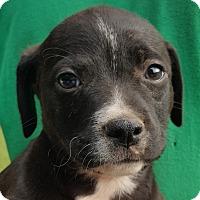 Adopt A Pet :: Chunk - Colonial Heights, VA