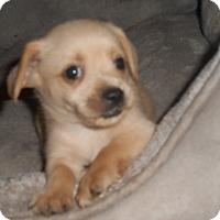 Adopt A Pet :: Chicken Pot Pie - Chandler, AZ