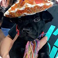 Adopt A Pet :: A437013 Louis - San Antonio, TX