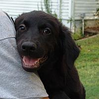 Adopt A Pet :: kramer - Spring Valley, NY