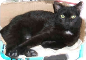 American Shorthair Kitten for adoption in New York, New York - Sweet Maggie May