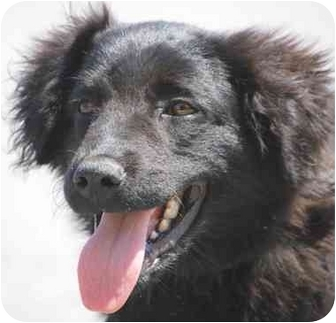 Flat-Coated Retriever/Newfoundland Mix Puppy for adoption in Inman, South Carolina - Noir