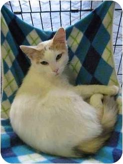 Domestic Shorthair Cat for adoption in Columbiaville, Michigan - Gloria