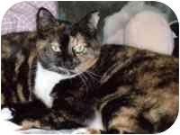 Calico Cat for adoption in Tampa, Florida - Mocha