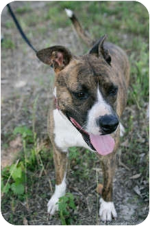 American Pit Bull Terrier Mix Dog for adoption in Meridian, Mississippi - Mimi
