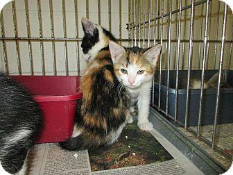 """Domestic Shorthair Kitten for adoption in Henderson, North Carolina - """"D"""" kittens"""