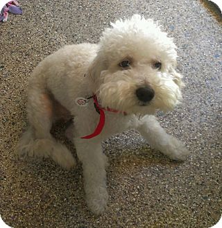 Poodle (Standard) Dog for adoption in Winnetka, California - BOUNCE