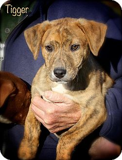Terrier (Unknown Type, Medium) Mix Puppy for adoption in Wilmington, Delaware - Tigger