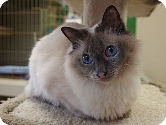 Siamese Cat for adoption in Maple Ridge, British Columbia - Lilac
