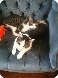 Domestic Shorthair Cat for adoption in Huntington Station, New York - PETER