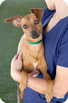 Dachshund Mix Dog for adoption in Mission Viejo, California - River
