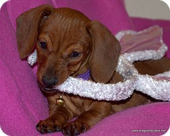 Dachshund Puppy for adoption in Spokane, Washington - Vanessa Redgrave-pending hom