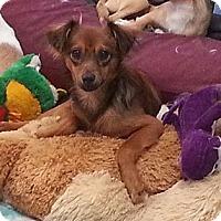 Adopt A Pet :: Derby Cheeze - Houston, TX