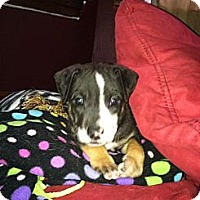 Adopt A Pet :: Snow White - Chicago, IL