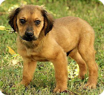 German Shepherd Dog/Labrador Retriever Mix Puppy for adoption in Albany, New York - Jackson
