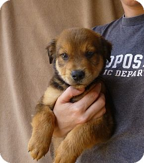 Golden Retriever/Australian Shepherd Mix Puppy for adoption in Oviedo, Florida - Bear