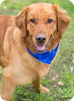 Golden Retriever Dog for adoption in Glastonbury, Connecticut - Jackson
