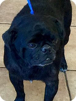 Pug Dog for adoption in Oswego, Illinois - I'M ADOPTED Vader Gray