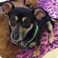 Adopt A Pet :: Maddie - Gilbert, AZ